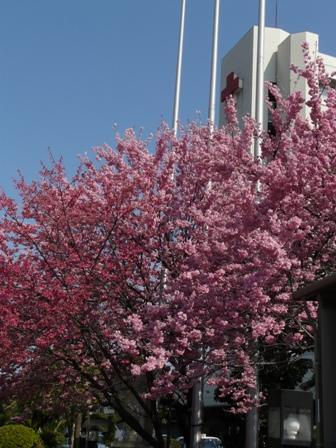 松山赤十字病院前 椿寒桜 & 寒緋桜