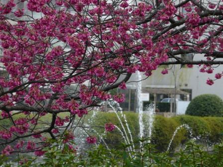 旧西条藩陣屋跡 寒緋桜 1