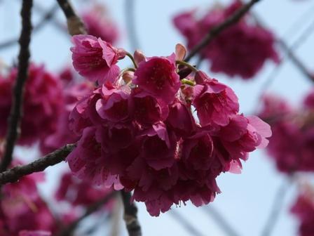 旧西条藩陣屋跡 寒緋桜 2