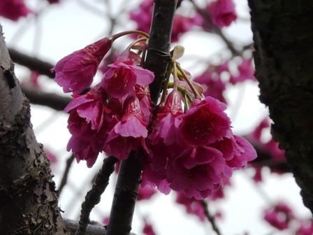 旧西条藩陣屋跡 寒緋桜 3