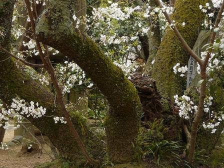 大宝寺 うば桜 3月14日 3
