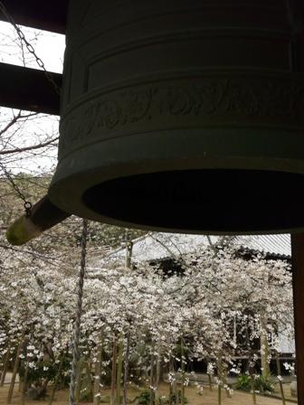 大宝寺 うば桜 3月14日 4