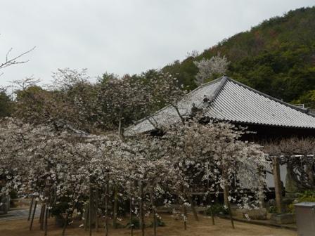 大宝寺 うば桜 3月14日 1