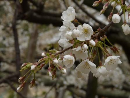 大宝寺 うば桜 3月14日 2