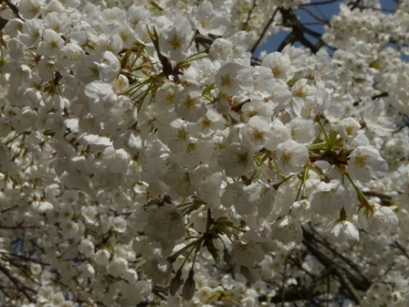 大宝寺 うば桜 3月17日 2