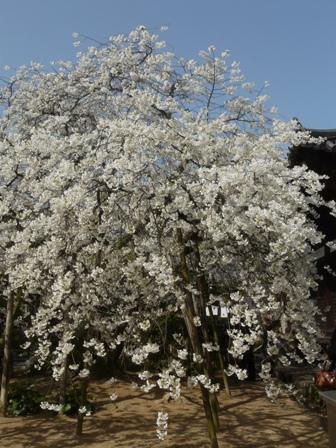 大宝寺 うば桜 3月17日 3