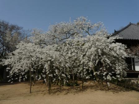 大宝寺 うば桜 3月17日 1