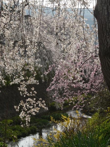 内子・郷ノ谷川 枝垂れ桜 & シナレンギョウ 2