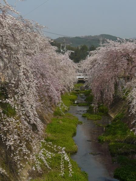 内子・郷ノ谷川 枝垂れ桜 2