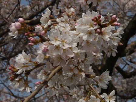 内子・郷ノ谷川 枝垂れ桜 3