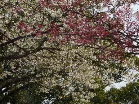 大島桜&陽光