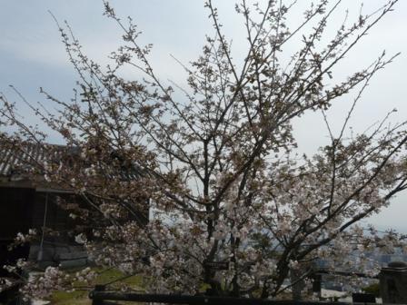 ハコダテニオイ桜 1