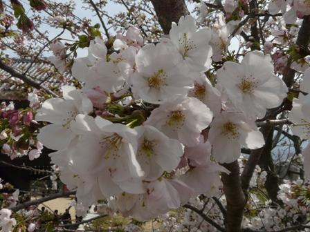 ハコダテニオイ桜 2