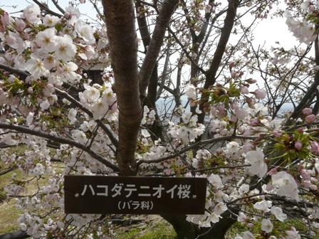 ハコダテニオイ桜 3