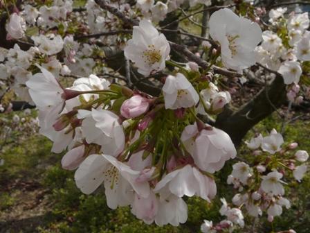 ハコダテニオイ桜 4