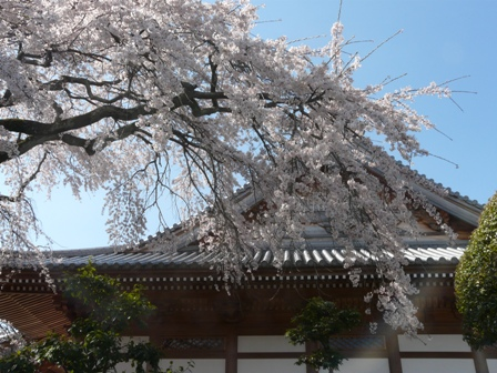 無量寺のしだれ桜 4