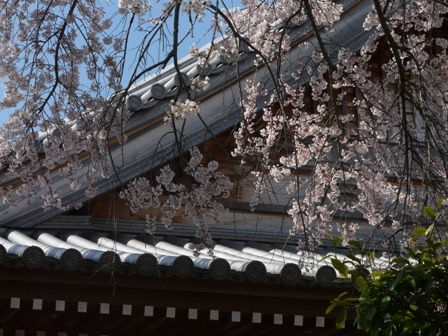 無量寺のしだれ桜 6