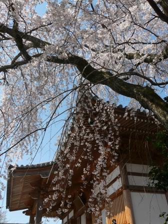 無量寺のしだれ桜 7