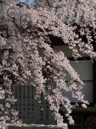 無量寺のしだれ桜 8