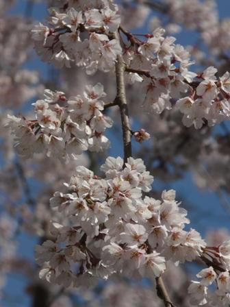 無量寺のしだれ桜 9