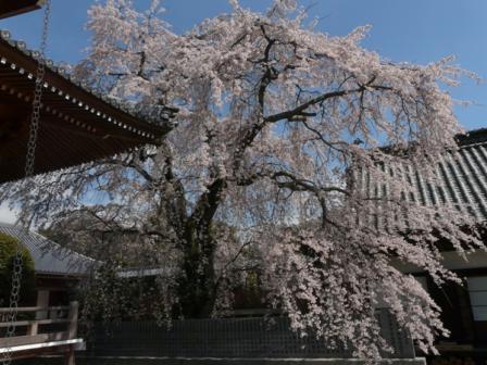 無量寺のしだれ桜 10