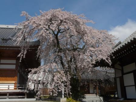 無量寺のしだれ桜 1