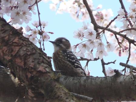 しだれ桜とコゲラ