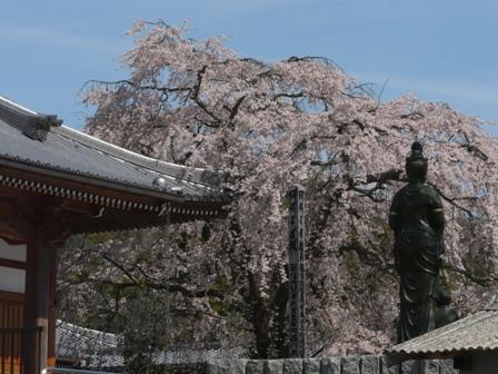 無量寺のしだれ桜 11