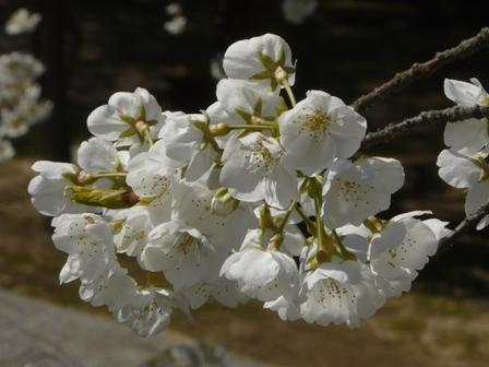 満願寺 しぐれ桜 6