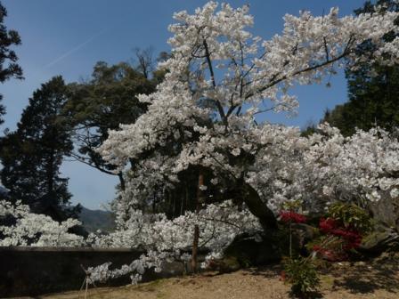 満願寺 しぐれ桜 4