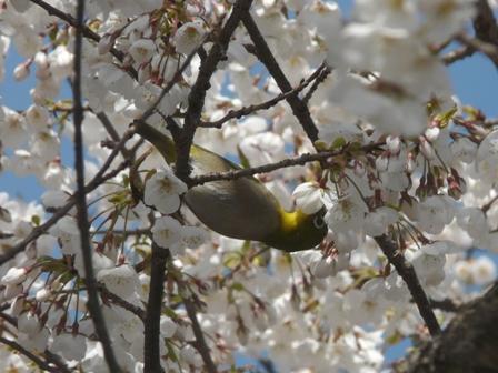 実報寺 一樹桜とメジロ