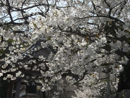 実報寺 一樹桜 6