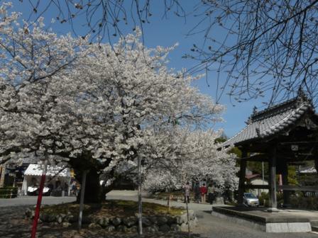 実報寺 一樹桜 7
