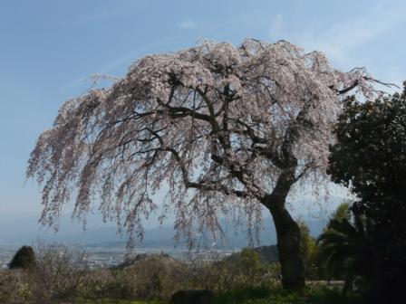 古田 しだれ桜 1