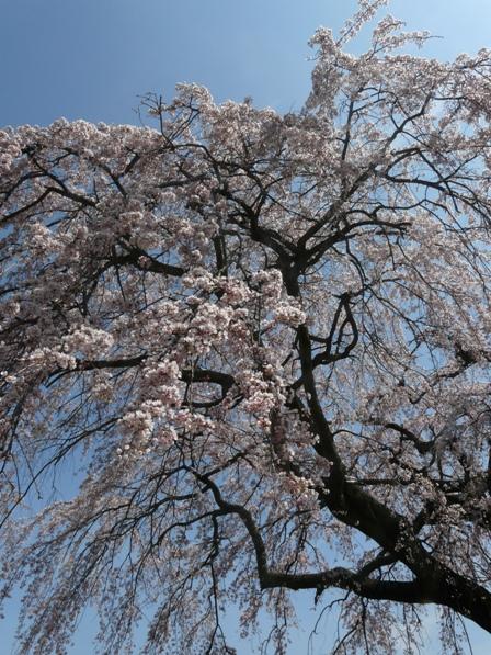 古田 しだれ桜 2