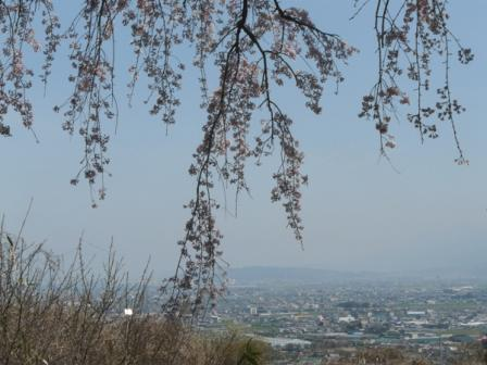 古田 しだれ桜 3