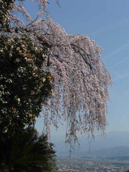 古田 しだれ桜 4