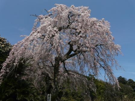 古田 しだれ桜 5