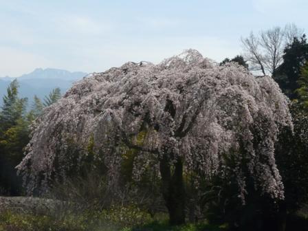 古田 しだれ桜 6