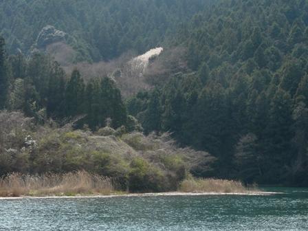ダム湖から見える源太桜