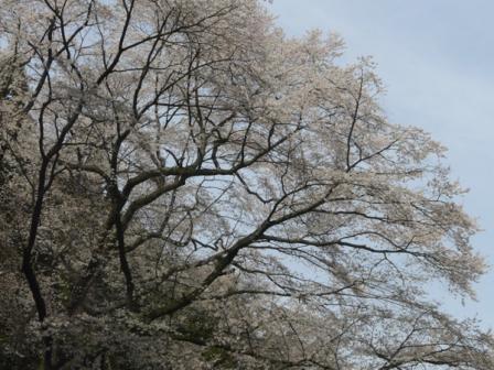 源太桜 2