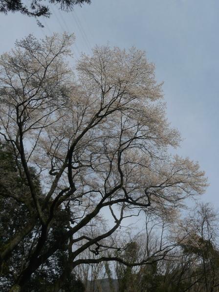 源太桜 5