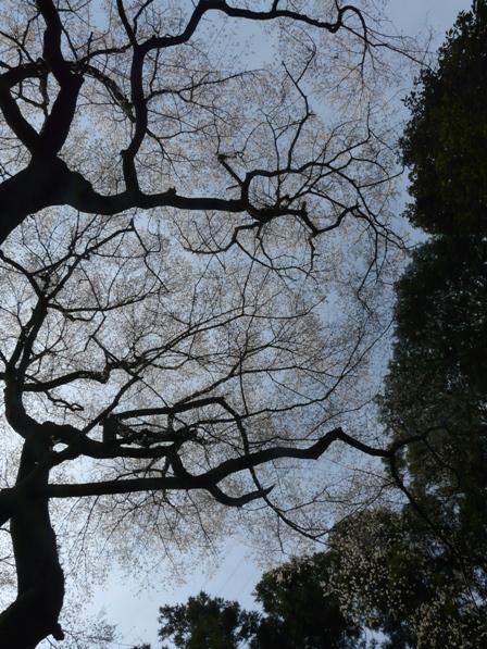 源太桜 6