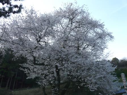 掌禅寺 金龍桜 1