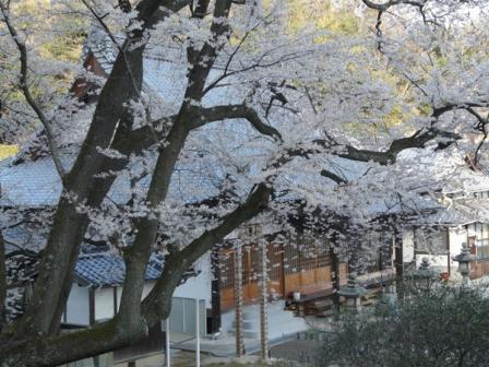 掌禅寺 金龍桜 3