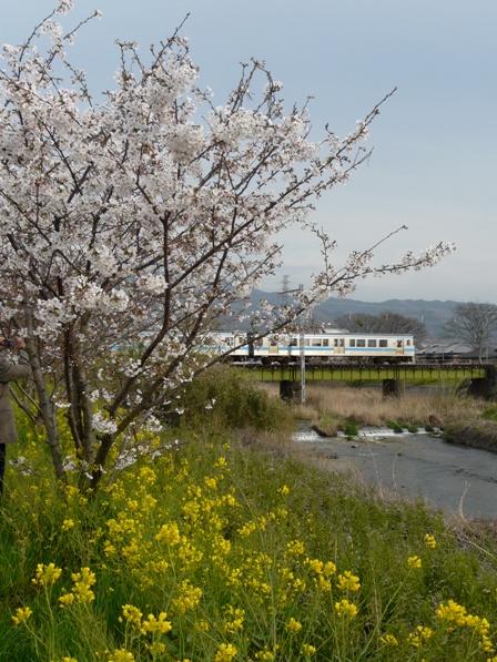 桜・菜の花と 7000系電車