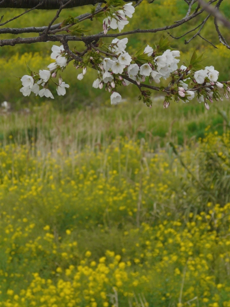 桜と菜の花 1