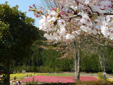 フラワーパークおおず チューリップ & 桜