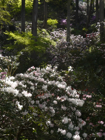 丸山公園 シャクナゲ 1