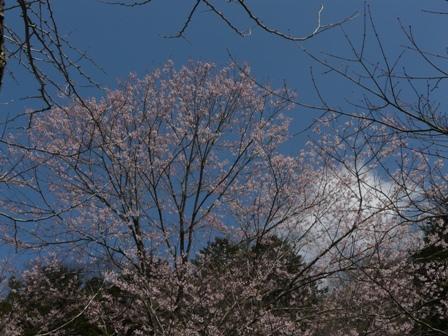 小田深山渓谷 桜